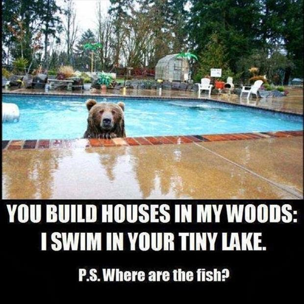 the bear swims in your pool