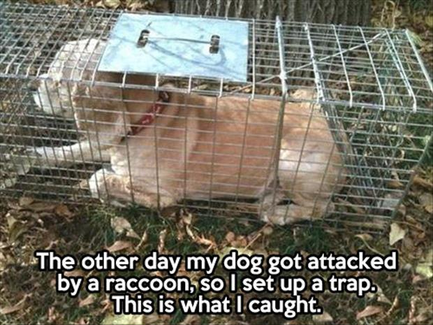 a raccoon trap