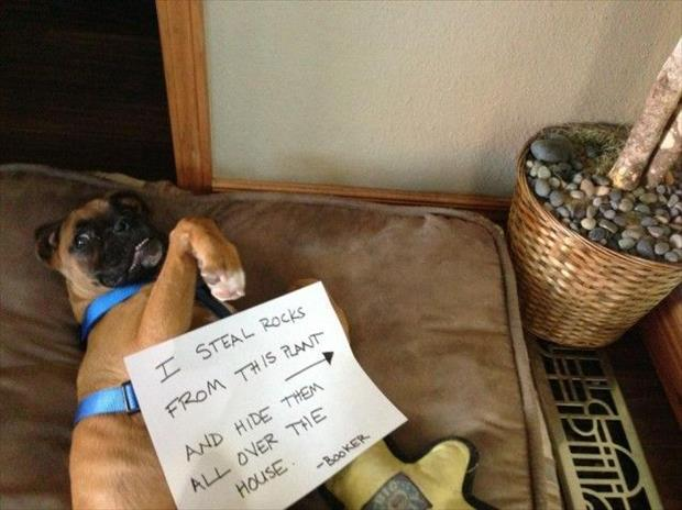 dog shaming rocks
