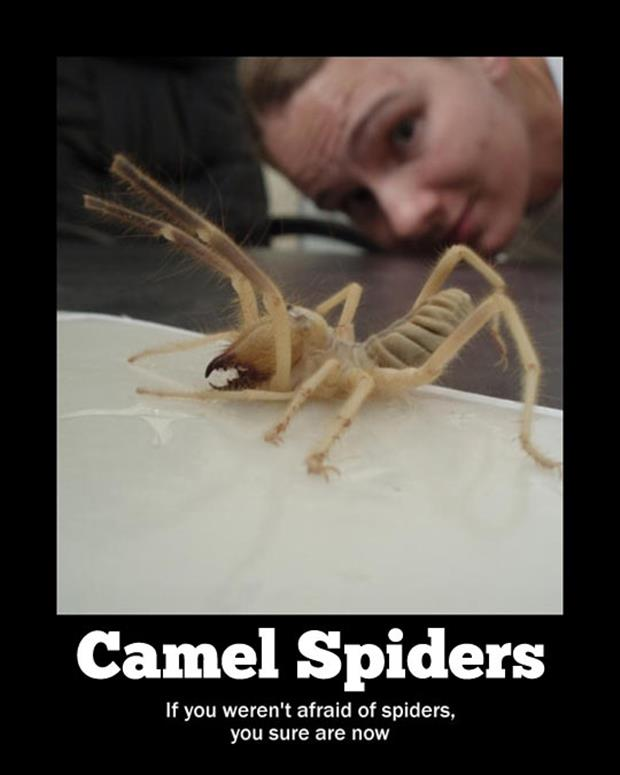 the camel spider