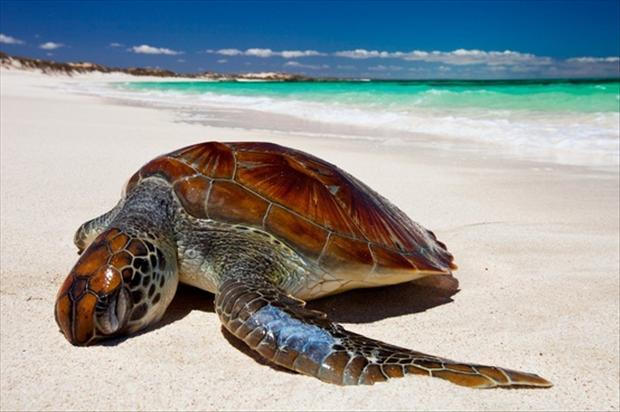Turtle on the beach at five finger reef, near Coral Bay, Western Australia