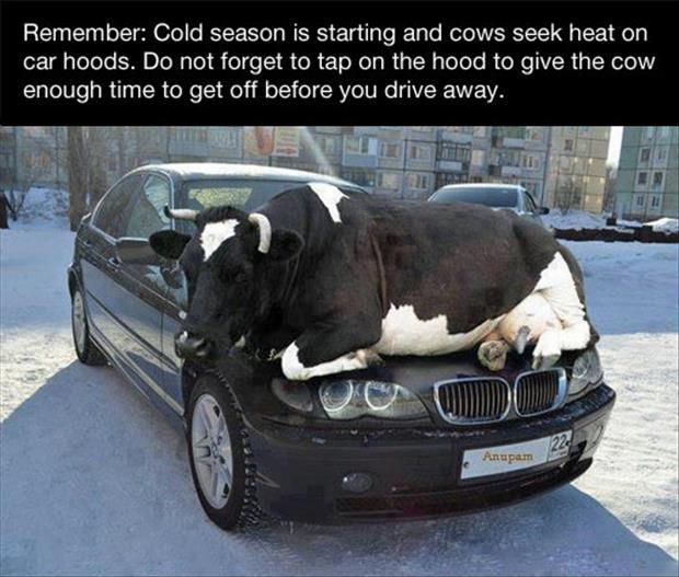 cows are cold in the winter