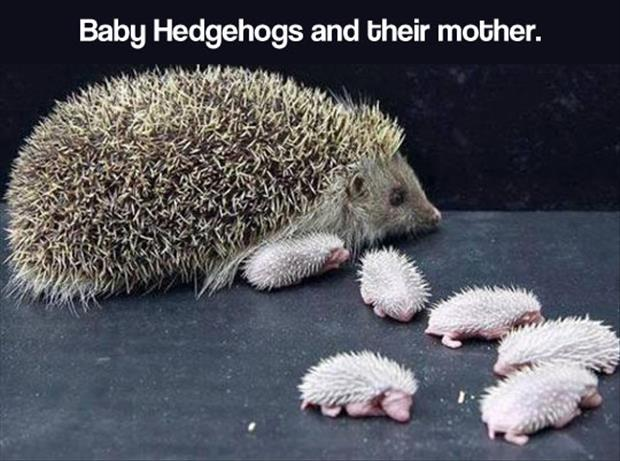 the baby hedgehogs