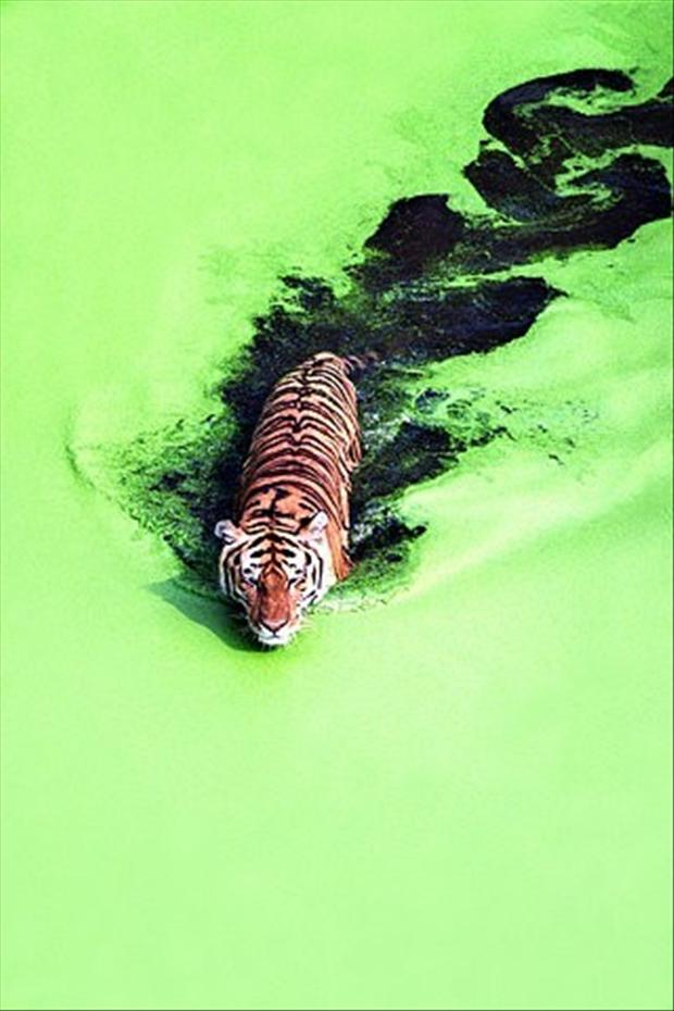 tiger in pond, pictures of the day