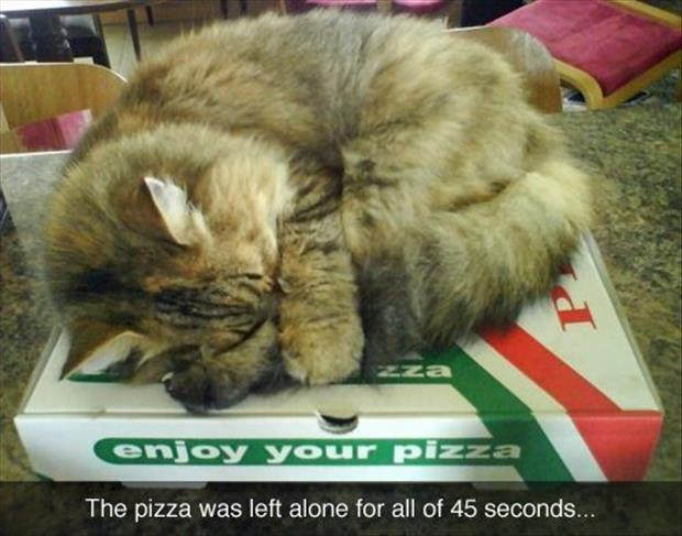 cat sits on pizza boxes