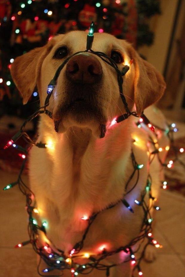 funny dog in christmas lights