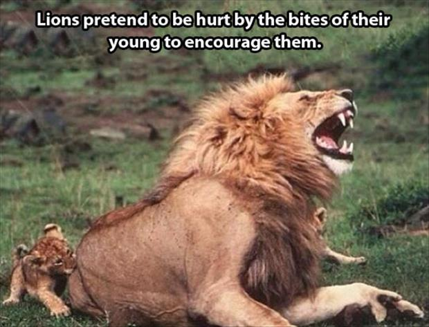 funny lions