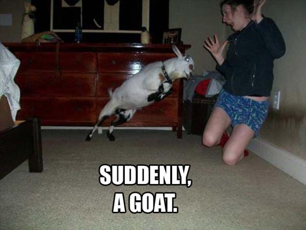 suddenly a goat
