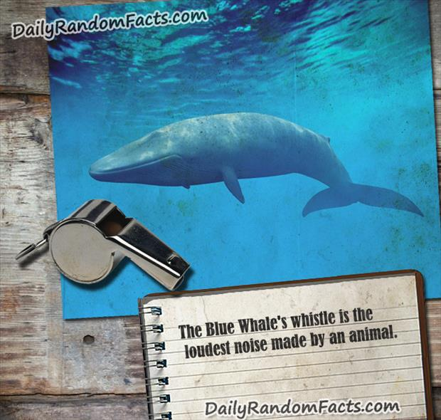 Blue Whale Fact