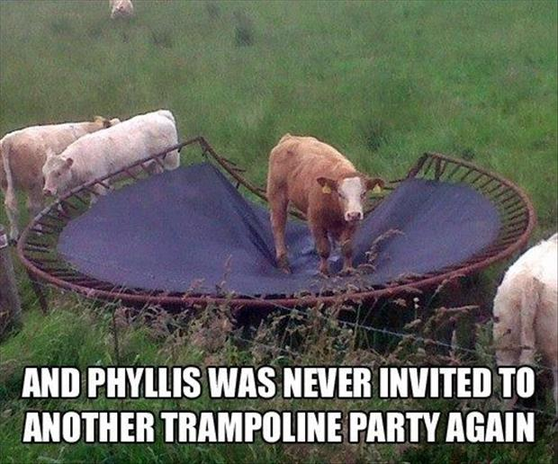 funny cow on trampoline