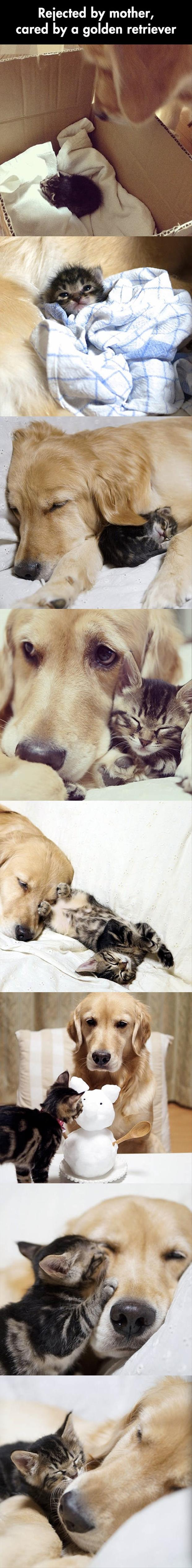 golden retriever takes care of cat