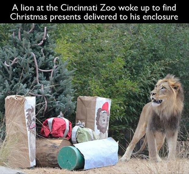 lion gets christmas presents