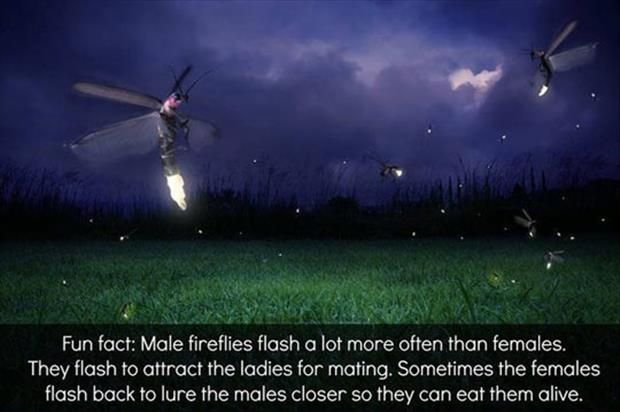 male fireflies