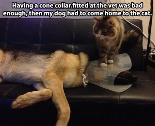 the cone of shame and cat