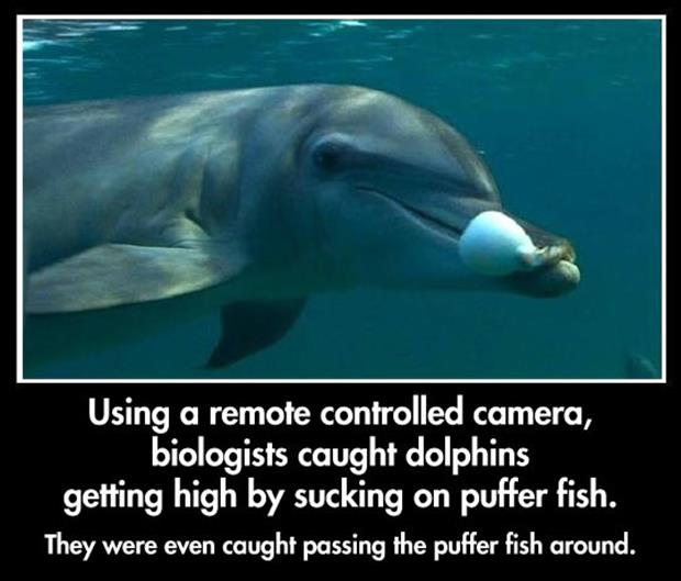 the dolphins getting high on puffer fish