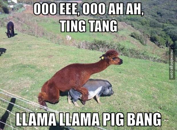 a llama having sex with a pig
