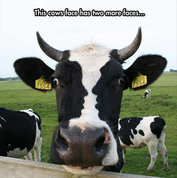 funny cow faces