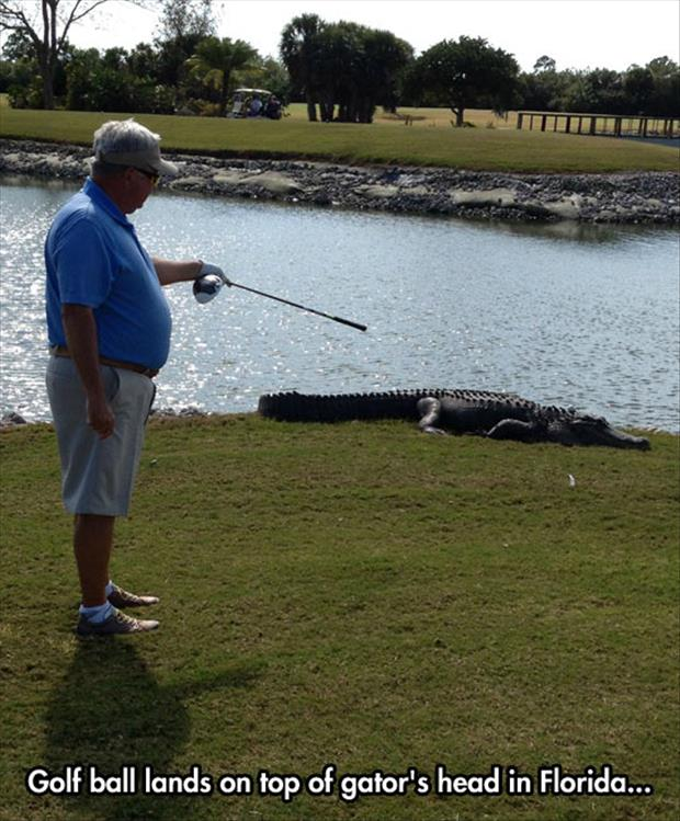golf ball lands on top of an alligator