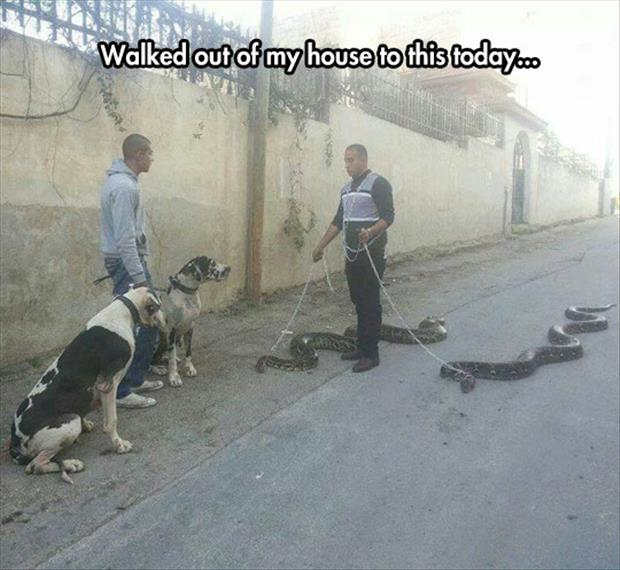 man walking his snakes