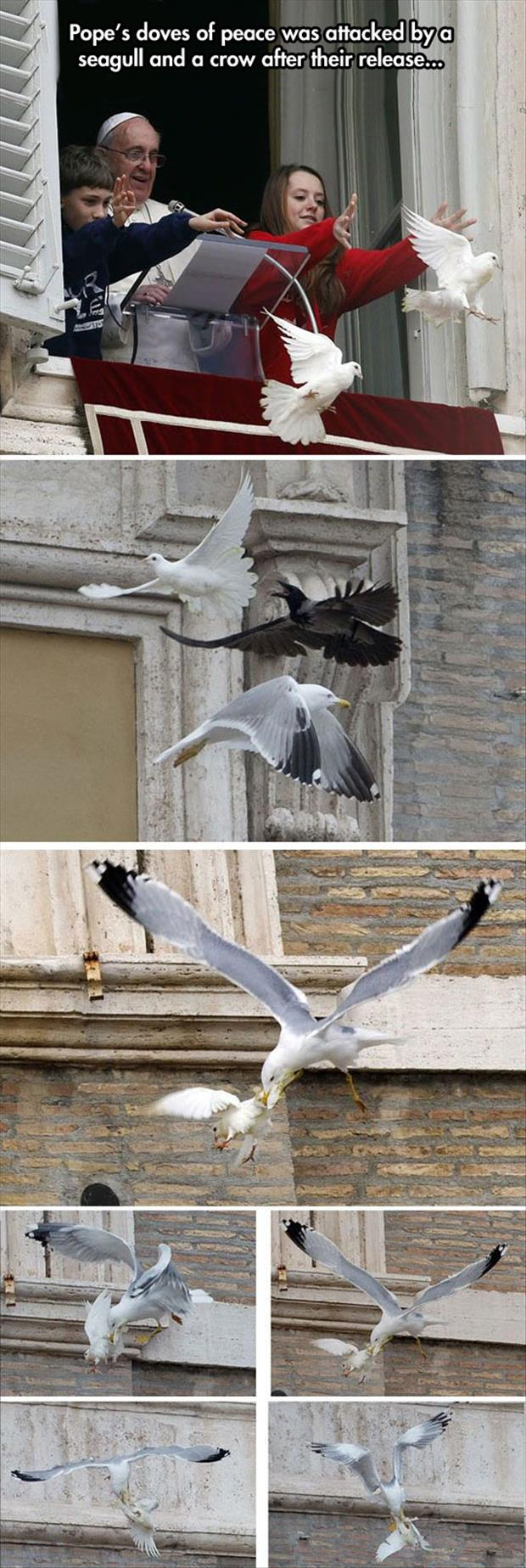 the popes doves of peace were attacked by seaguls