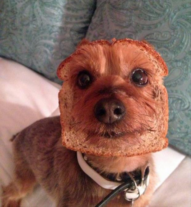 funny dog with bread on his face