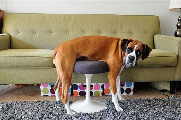 funny dogs on furniture (1)
