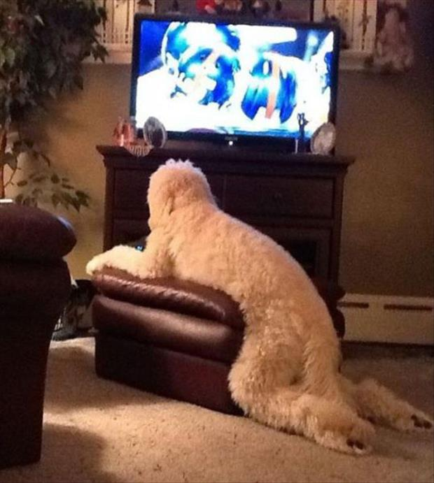 funny dogs on furniture (10)
