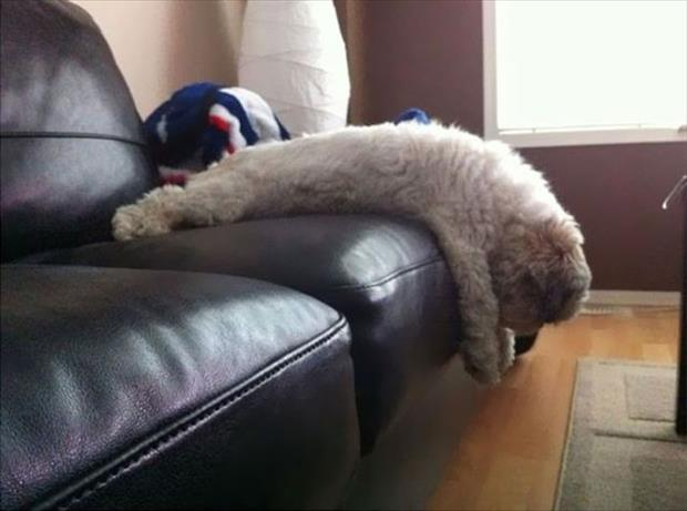 funny dogs on furniture (14)