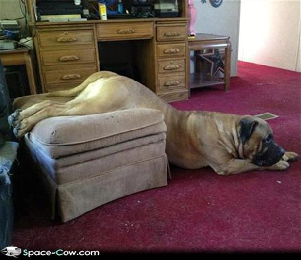 funny dogs on furniture (19)