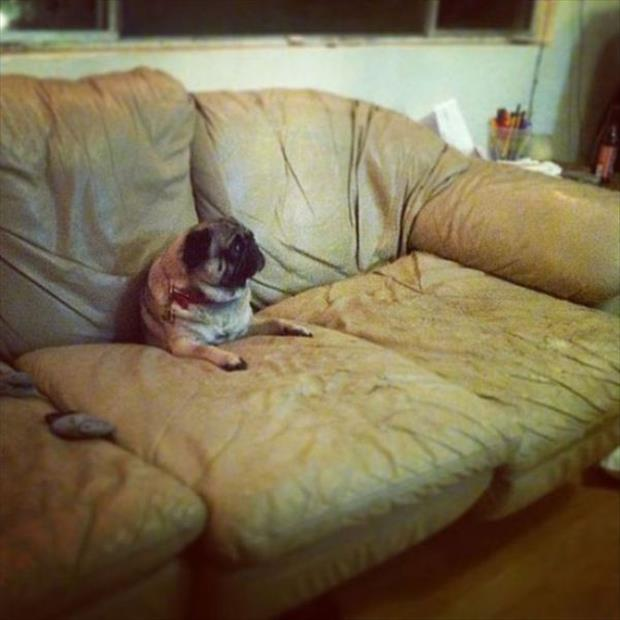 funny dogs on furniture (2)