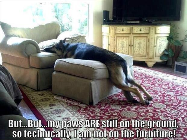 funny dogs on furniture (20)
