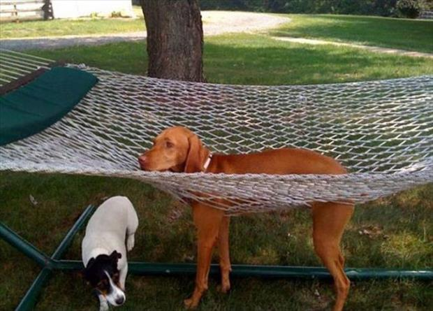 funny dogs on furniture (22)