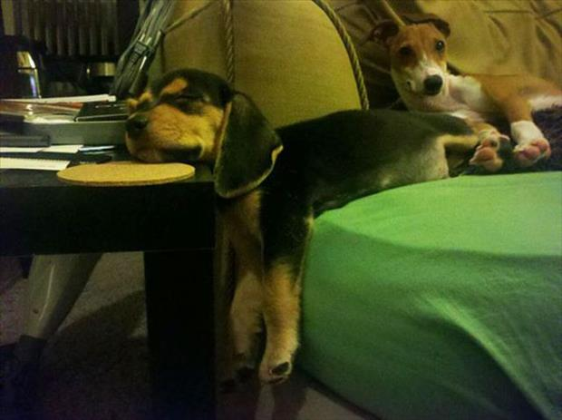 funny dogs on furniture (4)