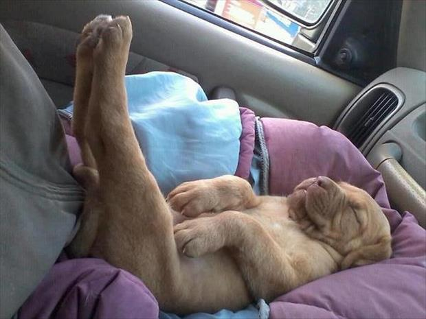 funny dogs sleeping anywhere (1)