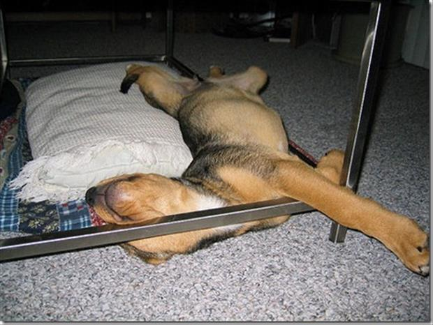 funny dogs sleeping anywhere (30)