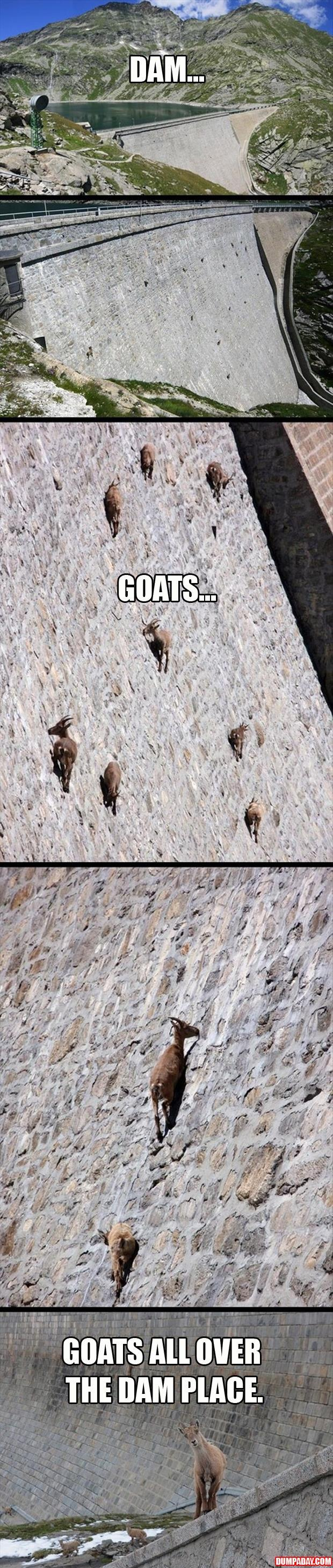 goats all over the place