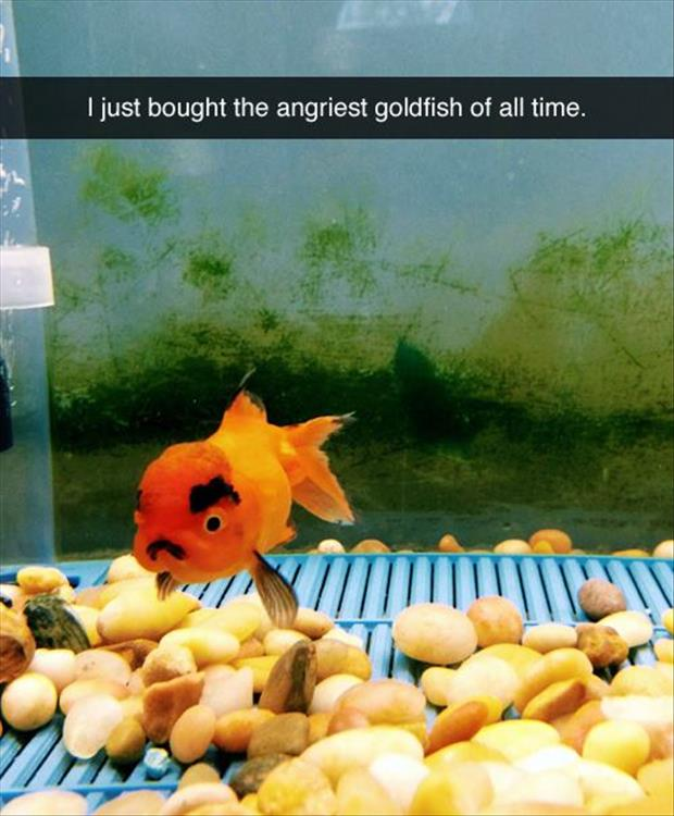 the angry gold fish
