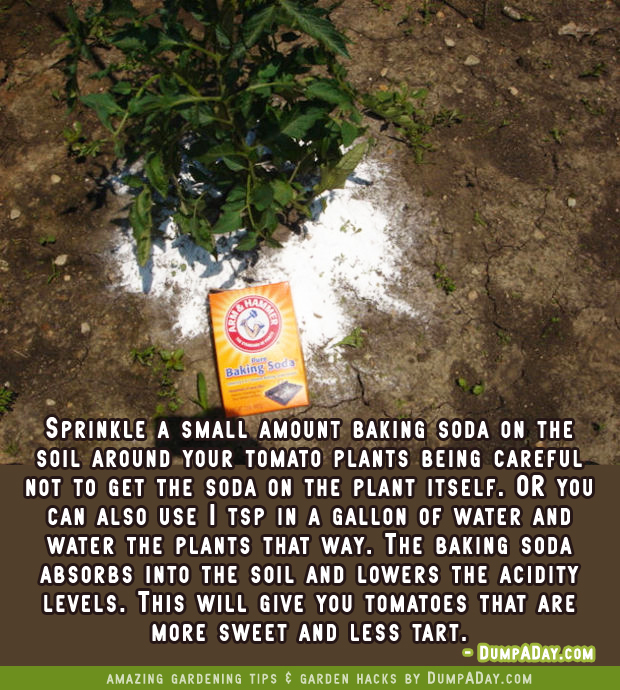 DumpADay Garden Hacks- Baking Soda for sweeter tomatoes