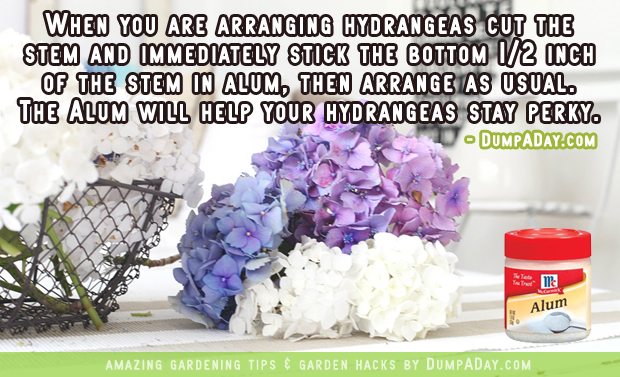 DumpADay Garden Hacks- Perky hydrangeas