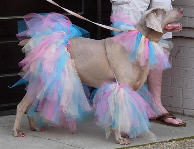 Funny Pictures of Animals Dressed up Funny Dogs Dressed up 2