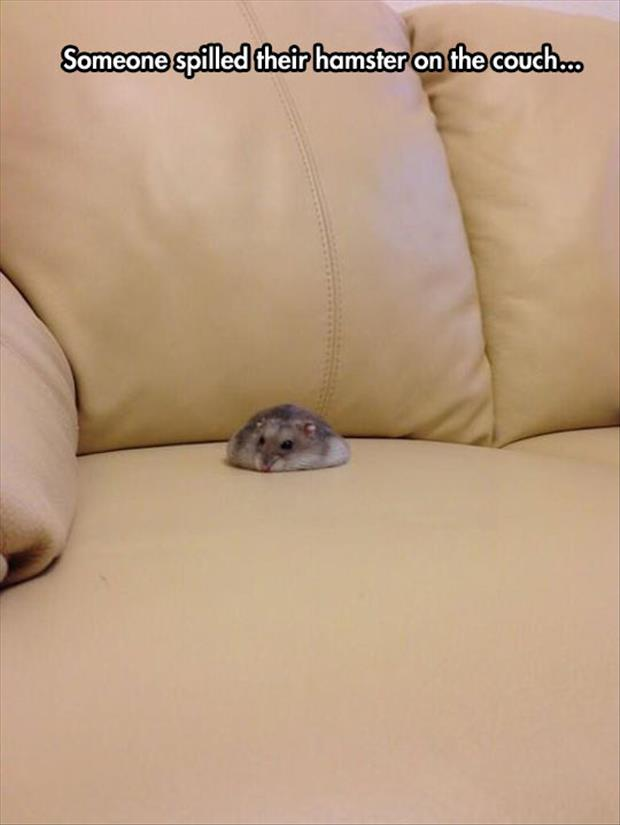 hamster on the couch