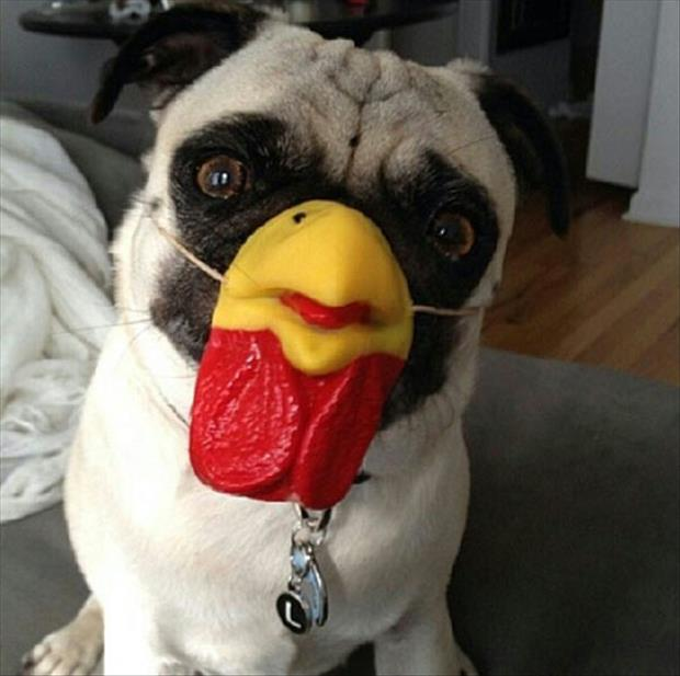 pug dog with chicken face