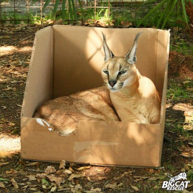 cats love boxes (11)