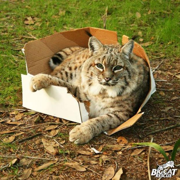 cats love boxes (6)