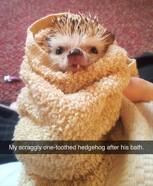 one toothed hedgehog after his bath