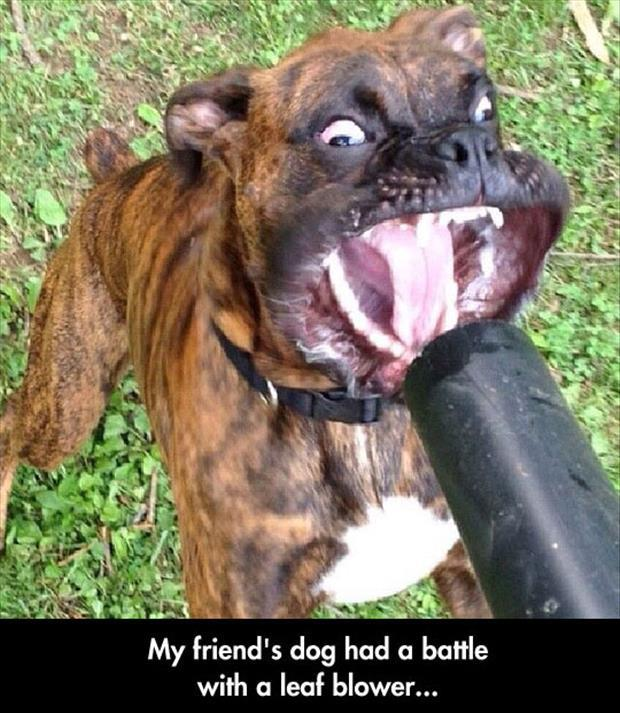 the dog verses a leaf blower