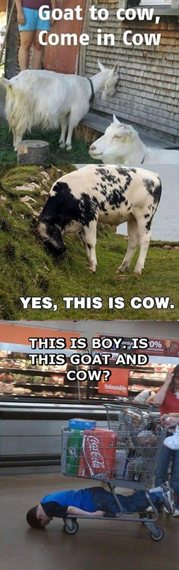 this is boy and goat and cow
