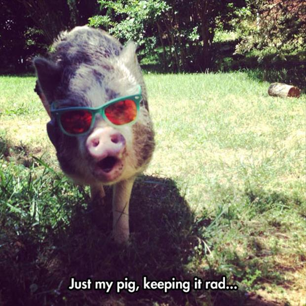 pigs in sunglasses