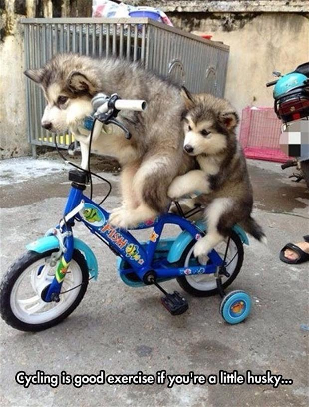 riding a bike when you're husky