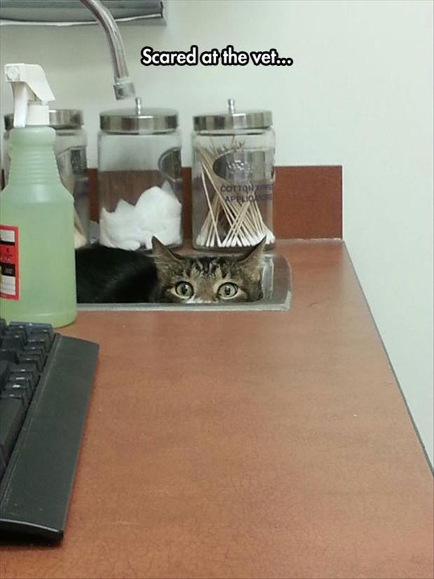 funny scared cat at the vet